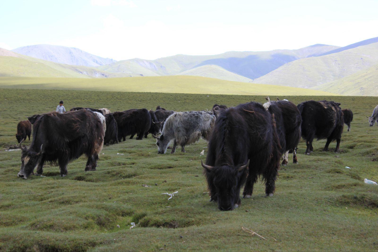 青海牛羊养殖【大通县多益绿色种养殖专业合作社】,藏